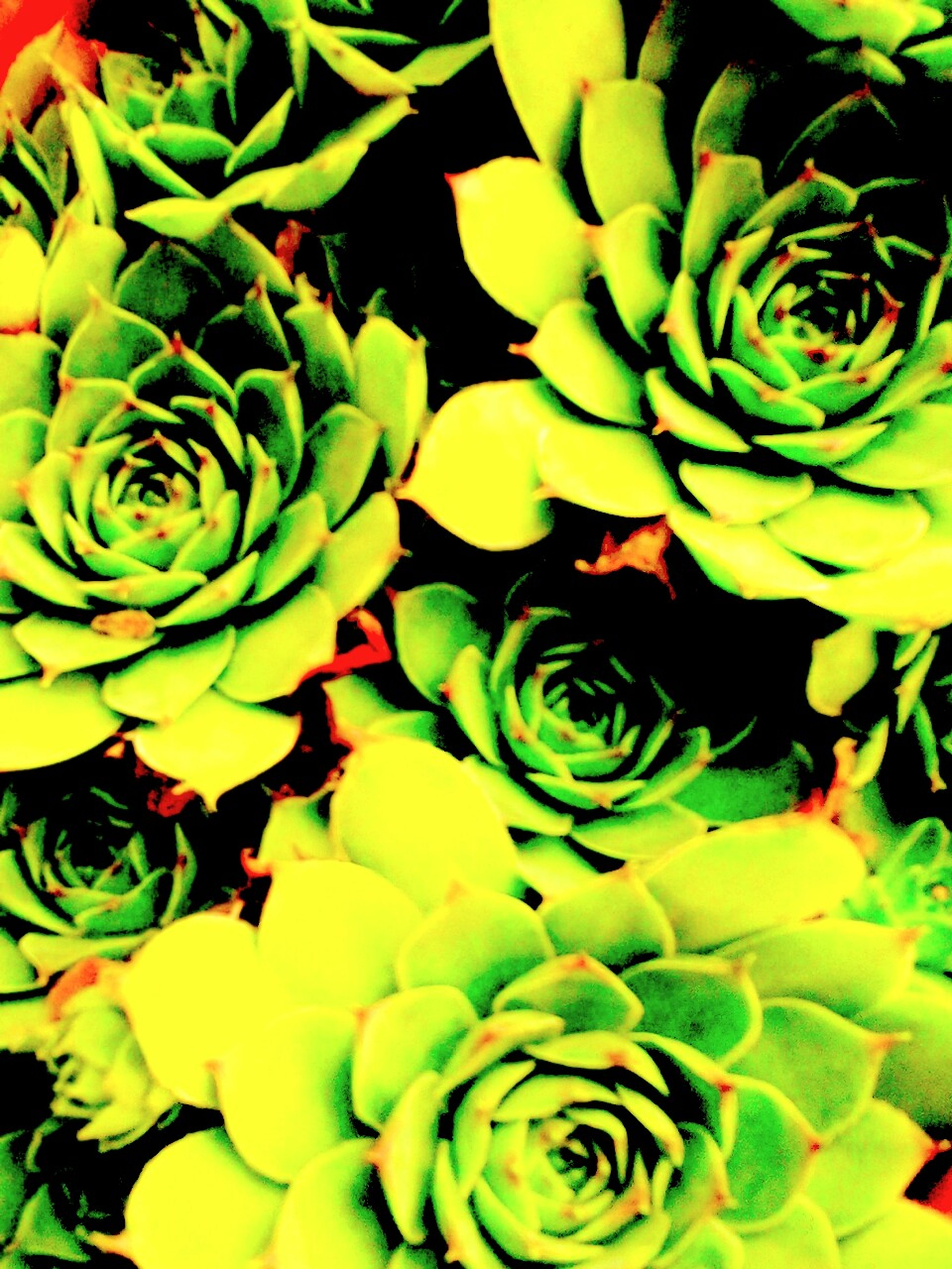 flower, freshness, growth, petal, fragility, beauty in nature, full frame, leaf, flower head, backgrounds, plant, nature, green color, close-up, natural pattern, rose - flower, blooming, yellow, high angle view, botany