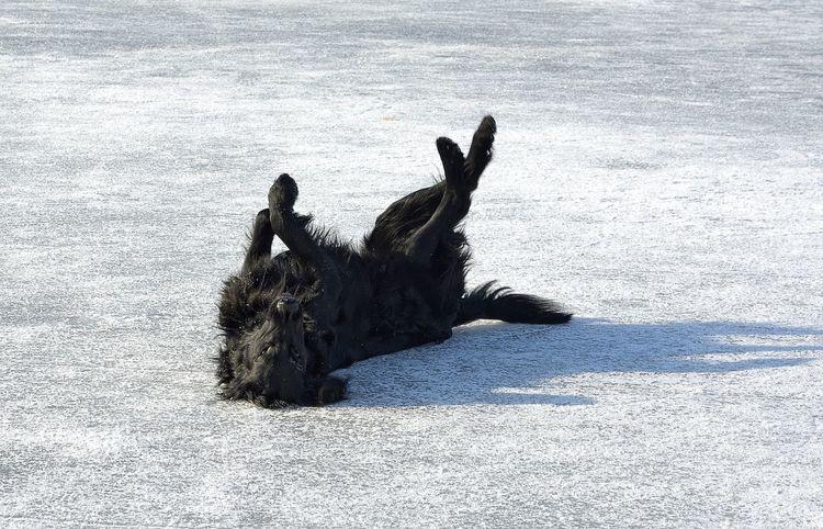 Black Dog Flatcoated Retriever Fun Ice Retriever Winter Wintertime