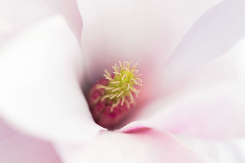 Macro of a pale pink magnolia flower, showing stamen Close-up Flower Macro Magnolia Magnolia Flower Magnolia Tree Nature Pale Pink Pale Pink Flower Petal Pink Pink Color Pink Colour Pink Flower Plant Stamen