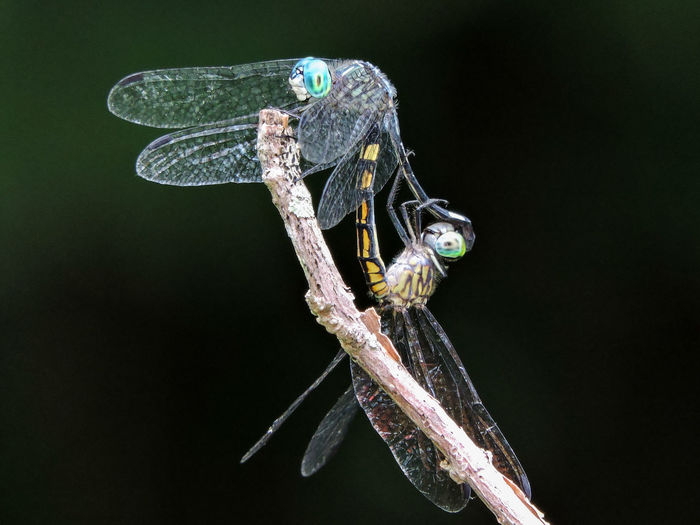 Animals Art In Nature Beauty In Nature Black Background Blue Blue Dragonfly Close-up Dragonflies Dragonflies Mating Focus On Foreground Insects  Magazhu Nature No People Outdoors Showcase August Yelapa