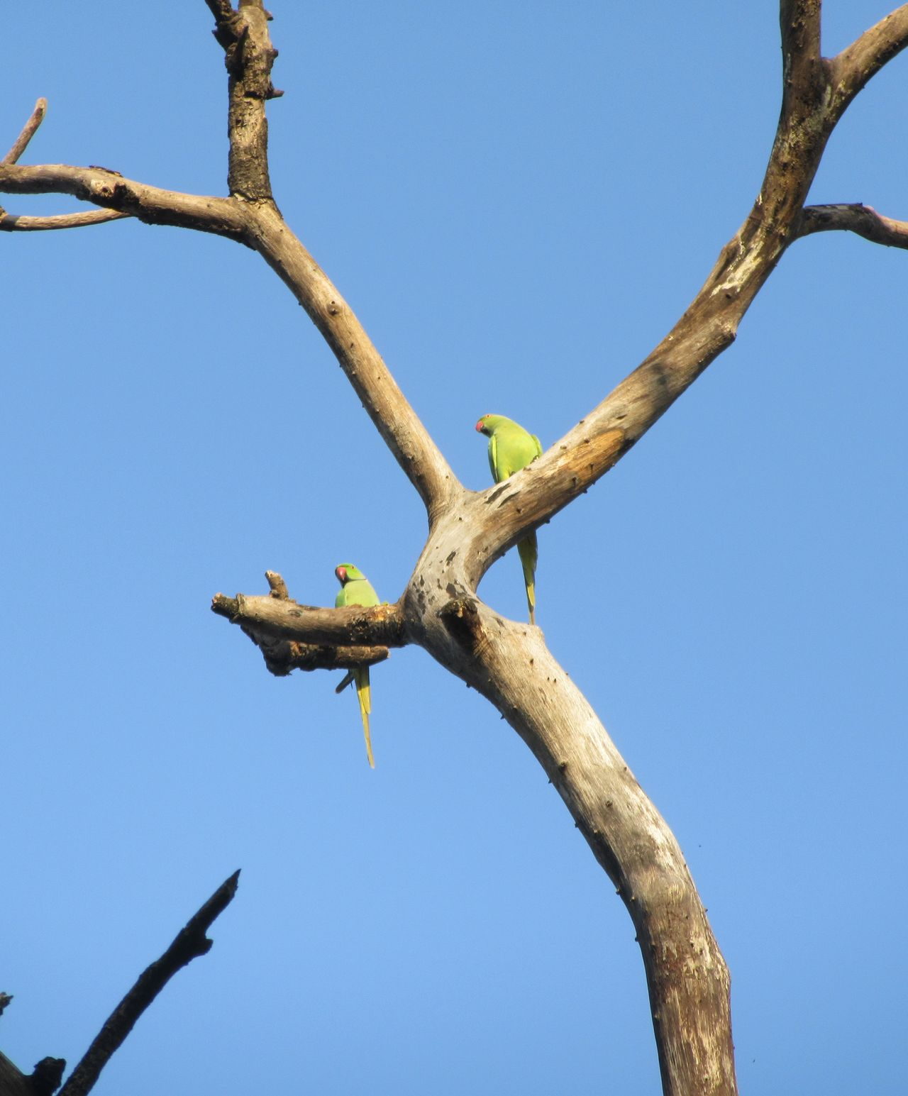Animal Wildlife Animals In The Wild Low Angle View Sky Day Outdoors Branch Nature Perching Nature On Your Doorstep Bird Photography World Around Me Fine Art Photography Birds Wildlife EyeEm Nature Lover Parrot Rose Ringed Parakeets EyeEm The EyeEm Collection