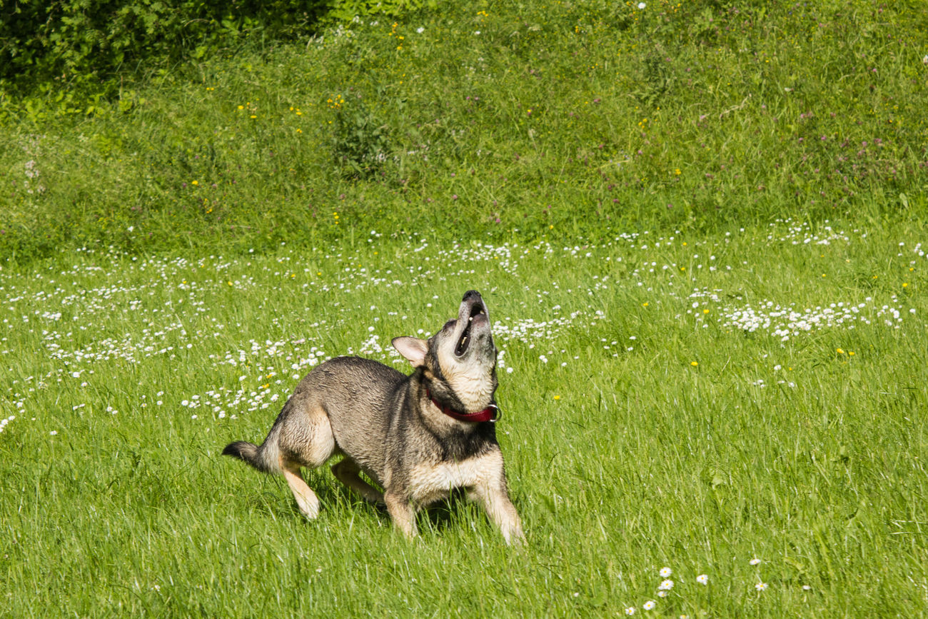 Dog Dogs Dogs Of EyeEm Dogslife Husky Husky Mix Jumping Dog Playing Dog Playing With The Animals Running Dog Shepherd