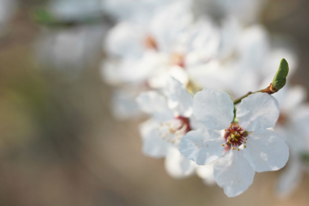 Close-Up Of Fresh White Flower Blooming In Nature