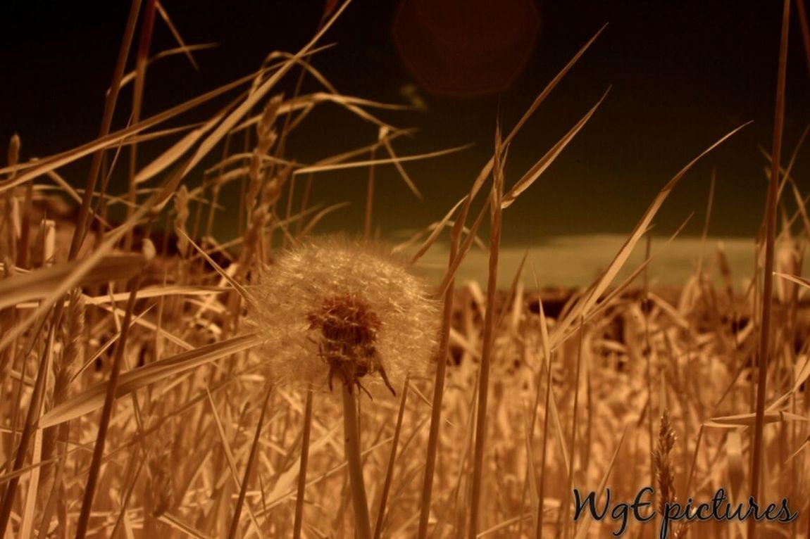 Pusteblume... Dandelion Nature Ir Photography