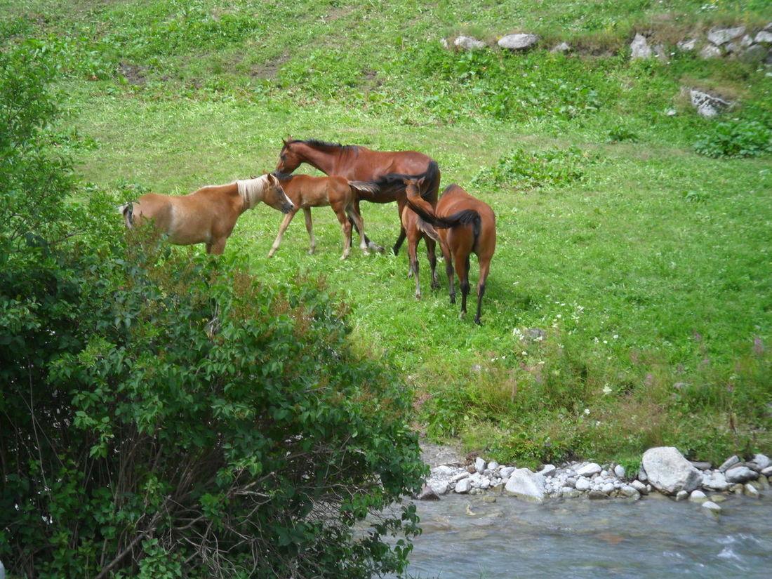 Cavalli Al Pascolo Animal Themes Cavalli In Libertà Grass Green Color Outdoors Young Animal