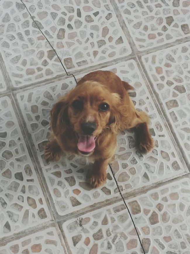 Perros  MiReina Cockerspaniel Colorcafe Buenacompania