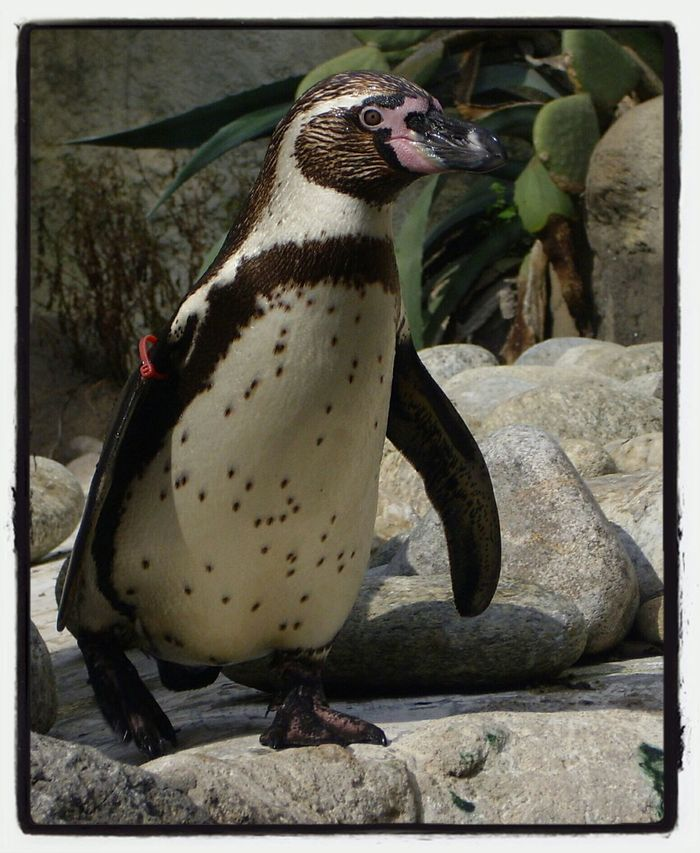 Pinguini Penguin ♡ I Want One  ♡ Zoo De Barcelona