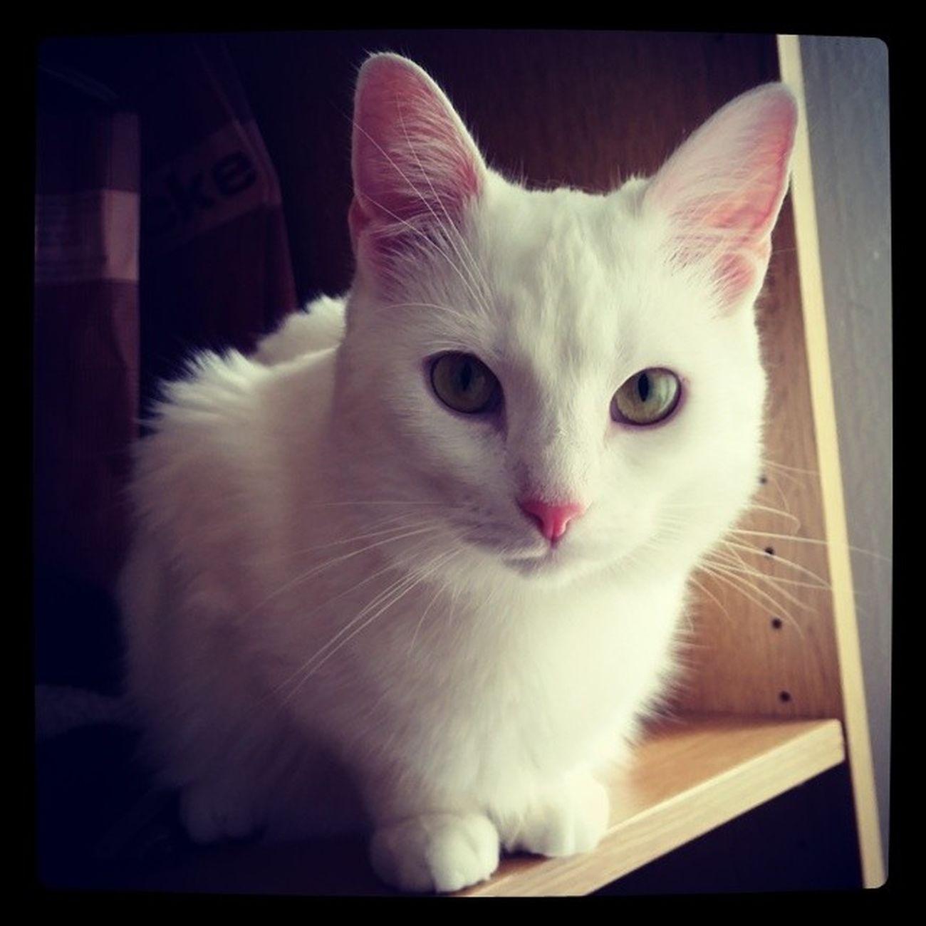 Boncuk Whitecat Ankarakedisi TurkishAngora