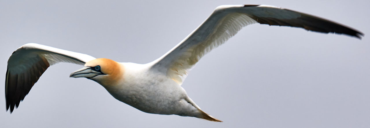 Animal Themes Animal Wildlife Animals In The Wild Bass Rock Gannets Bird Close-up Day Flying Gannet Nature No People One Animal Outdoors Spread Wings
