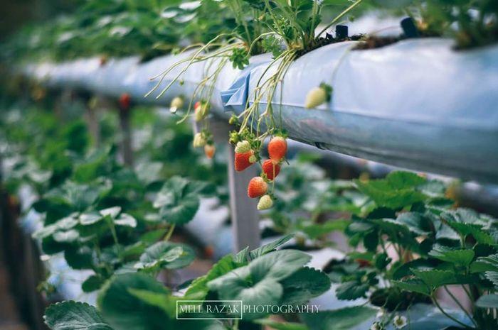 Strawberry. Strawberry Strawberries Red Vscomalaya Vscomalaysian Cameronhighlands Leaves_collection Cameron Highlands Vscopahang Leave Vscomalaysia Vscocam VSCO Fruit Green