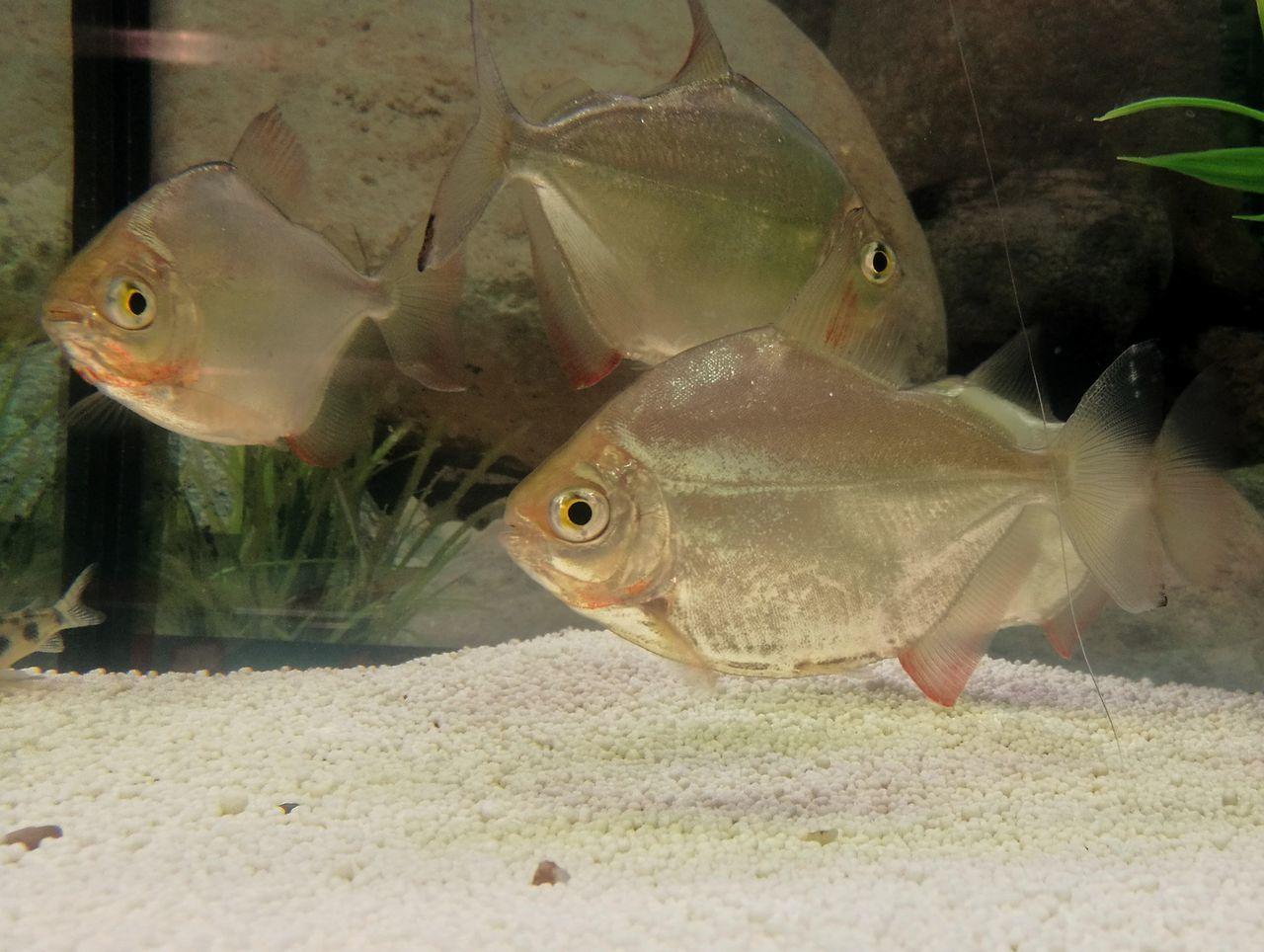 Fish Animal Themes Close-up Piranhas Aquarium Fish Tank Reflections Fish Tank Decoration Fishtank Aquarium Photography Aquarium Life Aquarium Fish Aquarium Green Decoration Underwater World No People