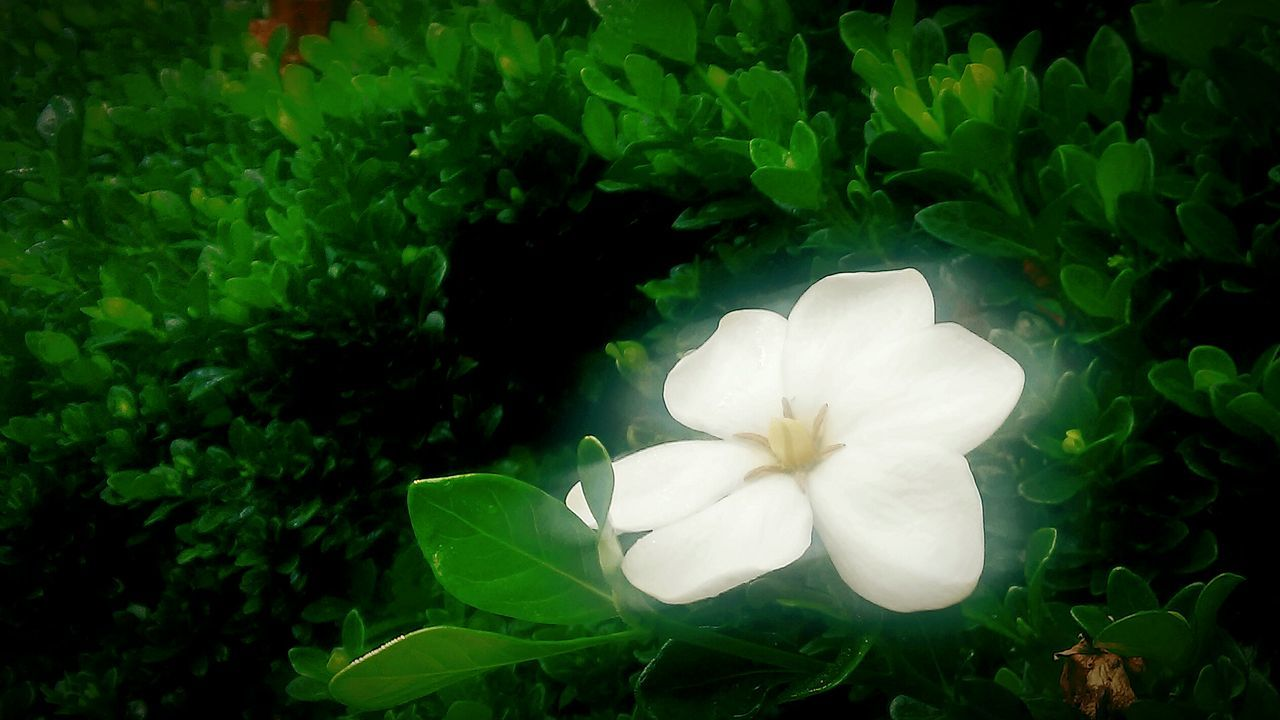 Summer Blooms lonesome bloom Taking Photos Flowerporn Gardenia Minimalism Flowers, Nature And Beauty Garden Photography Flower Collection