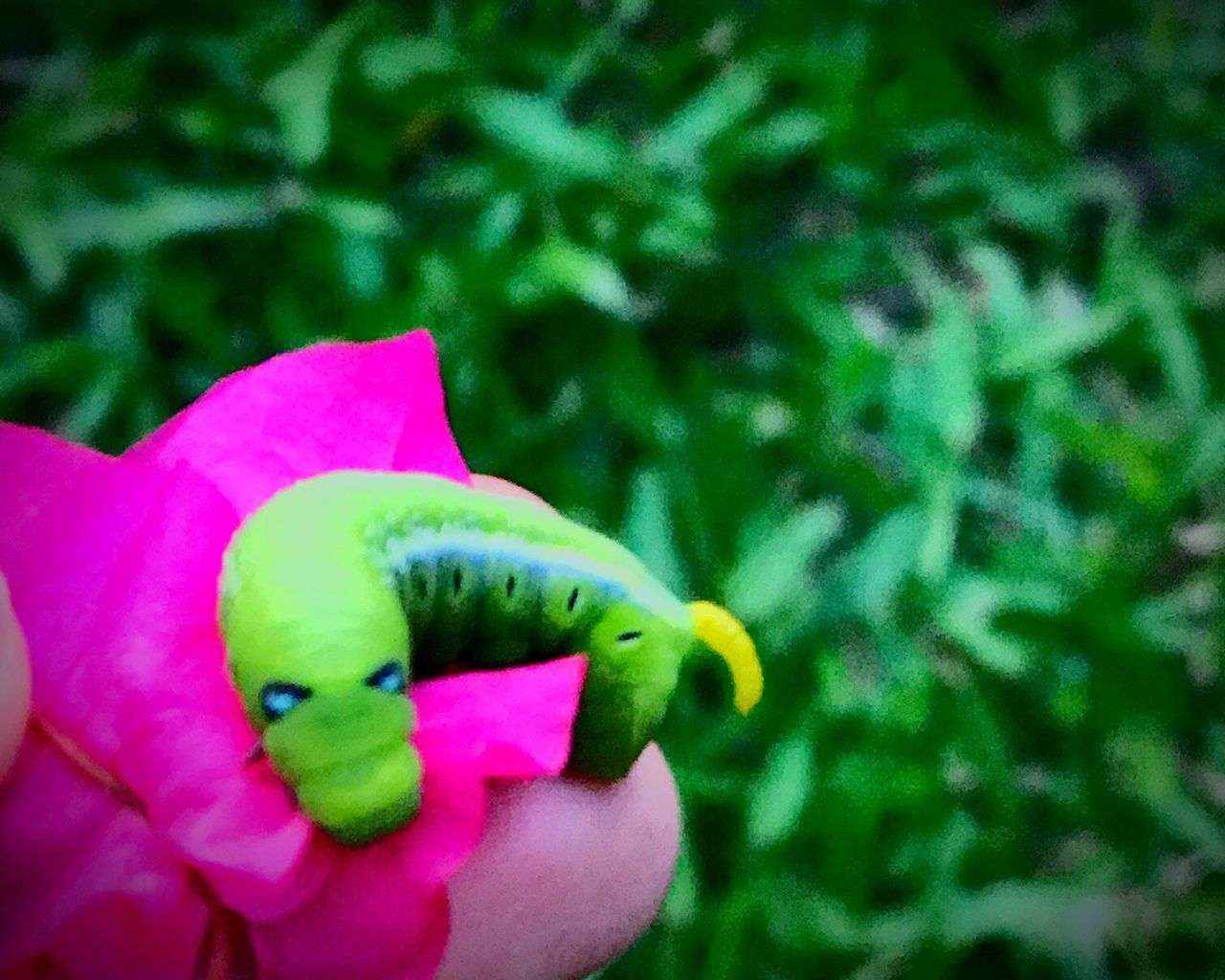 หนอนบุ้ง Close-up Green Color Pink Color Nature Day Outdoors Animal Themes Real People Beauty In Nature Flower Head One Person Holding Slug Slug Collection Slugs Buity In Nature EyeEm Nature Lover EyeEm
