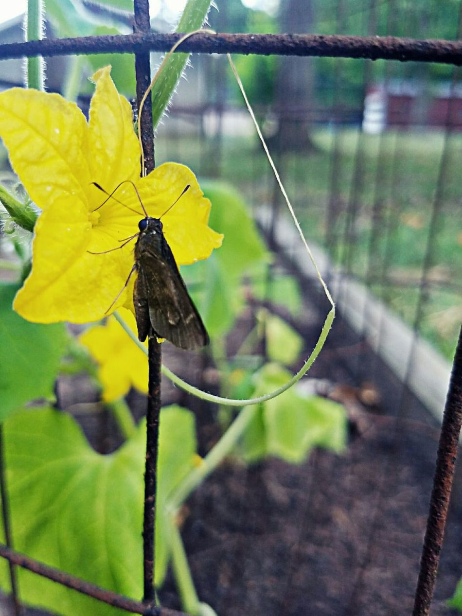 Found this little guy on my cucumbers. Hello World Check This Out Moth Garden Photography Garden Eyeem Collection Macro Photography Beauty In Nature Flowers, Nature And Beauty EyeEm Nature Lover Colour Of Life Pivotal Ideas Nature Photography Vegetables Vegetable Garden Cucumbers Veggies Yellow Cucumberflower Leaf 🍂 Butterfly - Insect Butterfly ❤ Moths Mothernature Gardenflowers