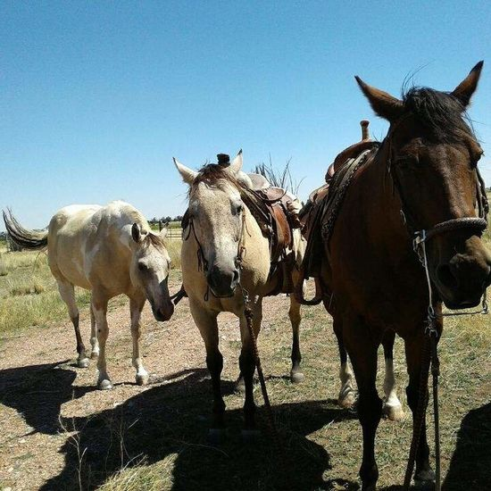 Horses Horseback Riding Horse Photography  3 Horses Animal Themes Horse Clear Sky Working Animal Bridle Outdoors Sunlight Blue Day Field Saddled Up And Ready To Go Peaceful Animal Behavior