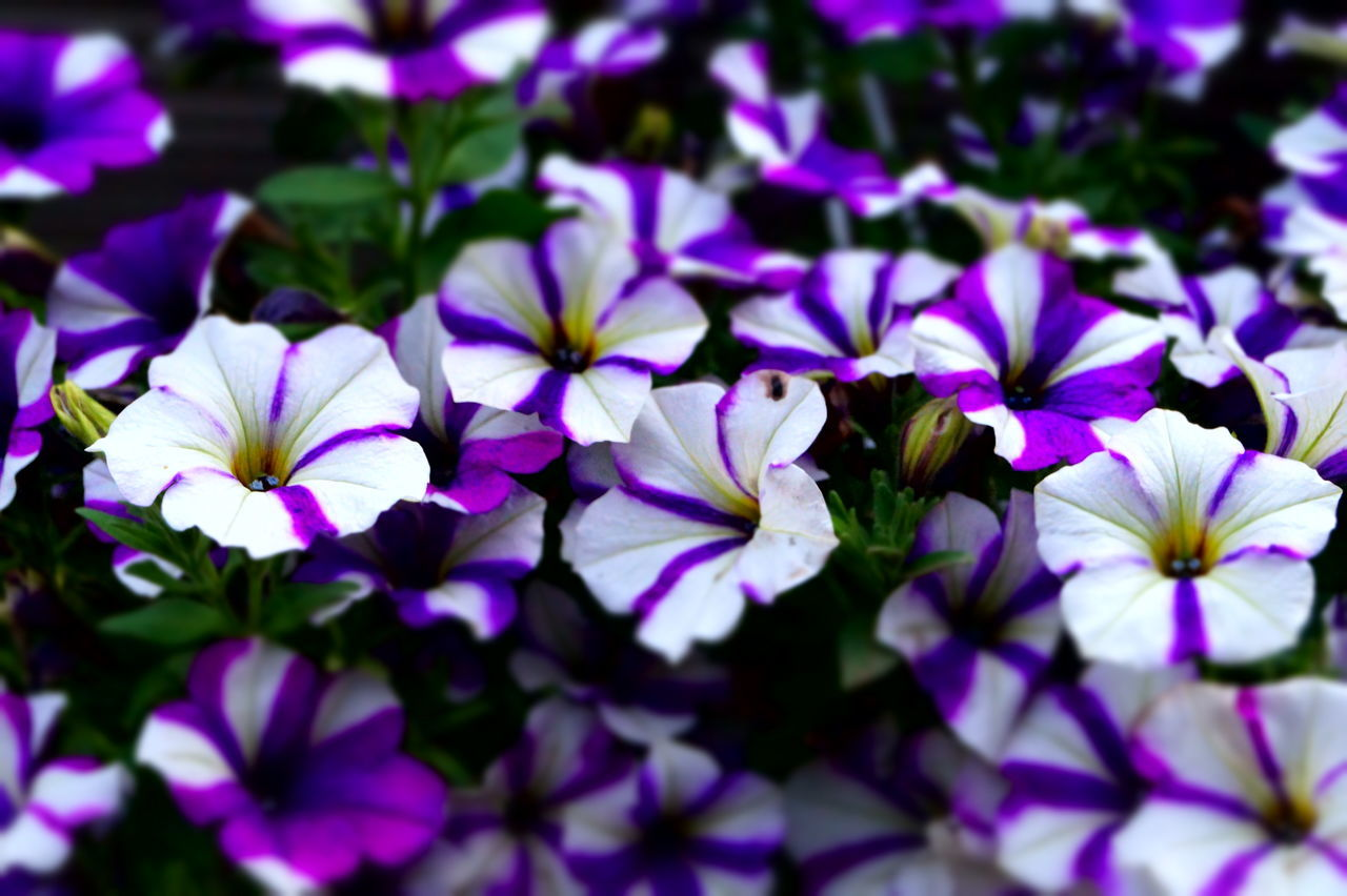 flower, purple, petal, beauty in nature, fragility, nature, growth, flower head, blooming, no people, outdoors, day, plant, freshness, close-up, osteospermum, petunia