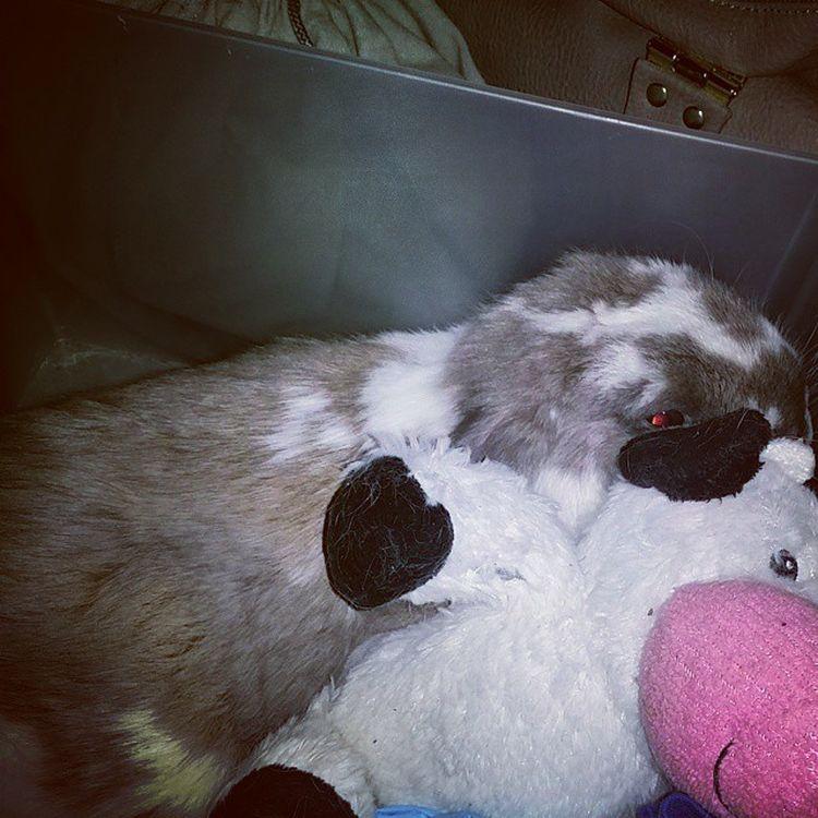 Snuggling w MOOMOO 😴 🐮