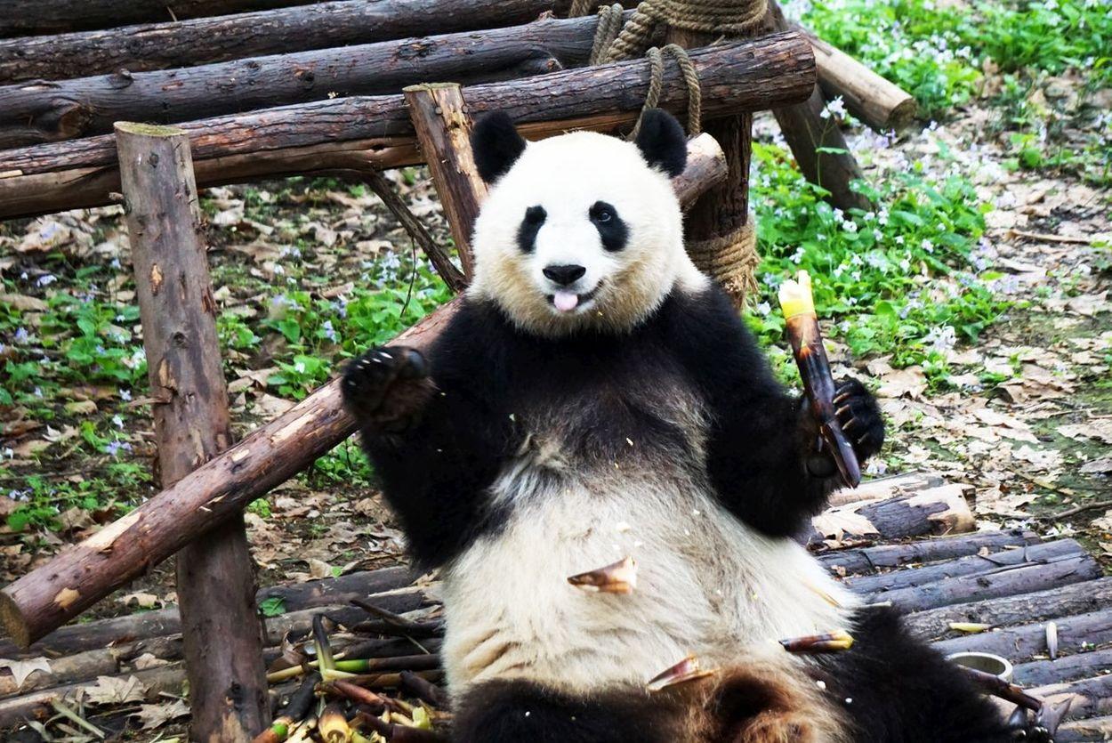 Panda Base Chengdu Animals Feeding Close-up Day Focus On Foreground Growth Mammal Nature No People Outdoors Panda Portrait Tree Trunk