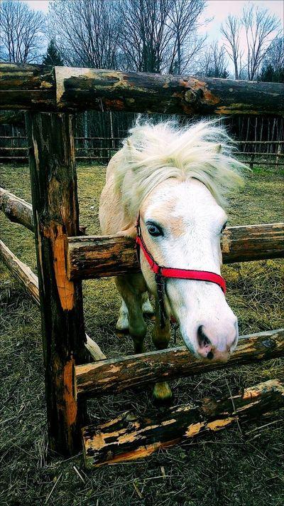 Horse Pony White Pony белый пони пони Белая лошадь голубые глаза лошадь