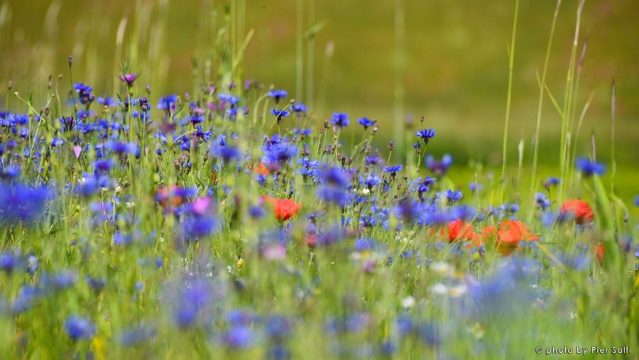 Colori di Primavera Flower Freshness Growth Fragility Selective Focus Beauty In Nature Purple Plant Stem Nature Field Close-up In Bloom Blue Springtime Lavender Day Flowering Plant Petal Wildflower Castelluccio Di Norcia Spring Landscape