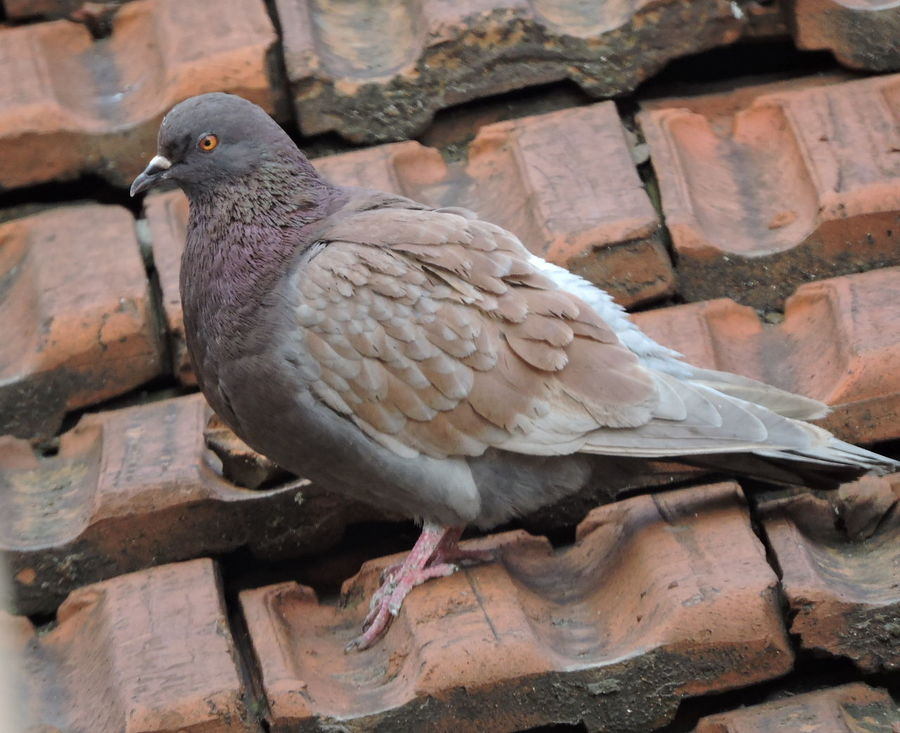 Animal Themes Animals In The Wild Bird Close-up Day Mourning Dove Nature No People One Animal Outdoors Perching Pigeon Bird  Pigeon On The Old Roof