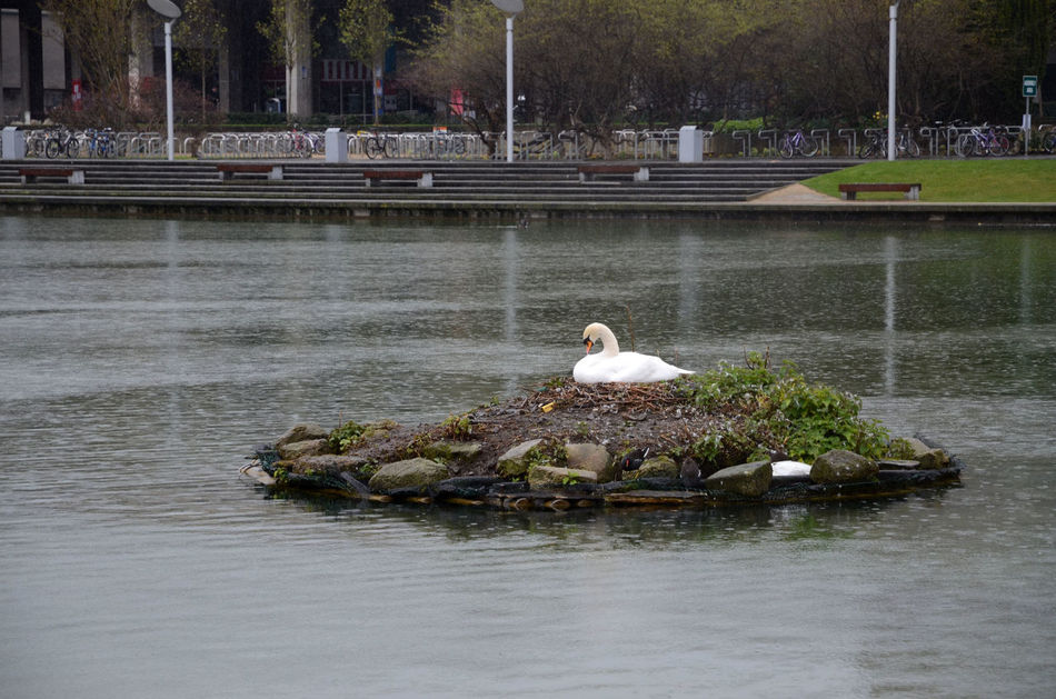 Ugly ducklings on the way Bird Brooding Island Lake Nest One Animal Outdoors Raining Sitting Swan University College Dublin Water Water Bird