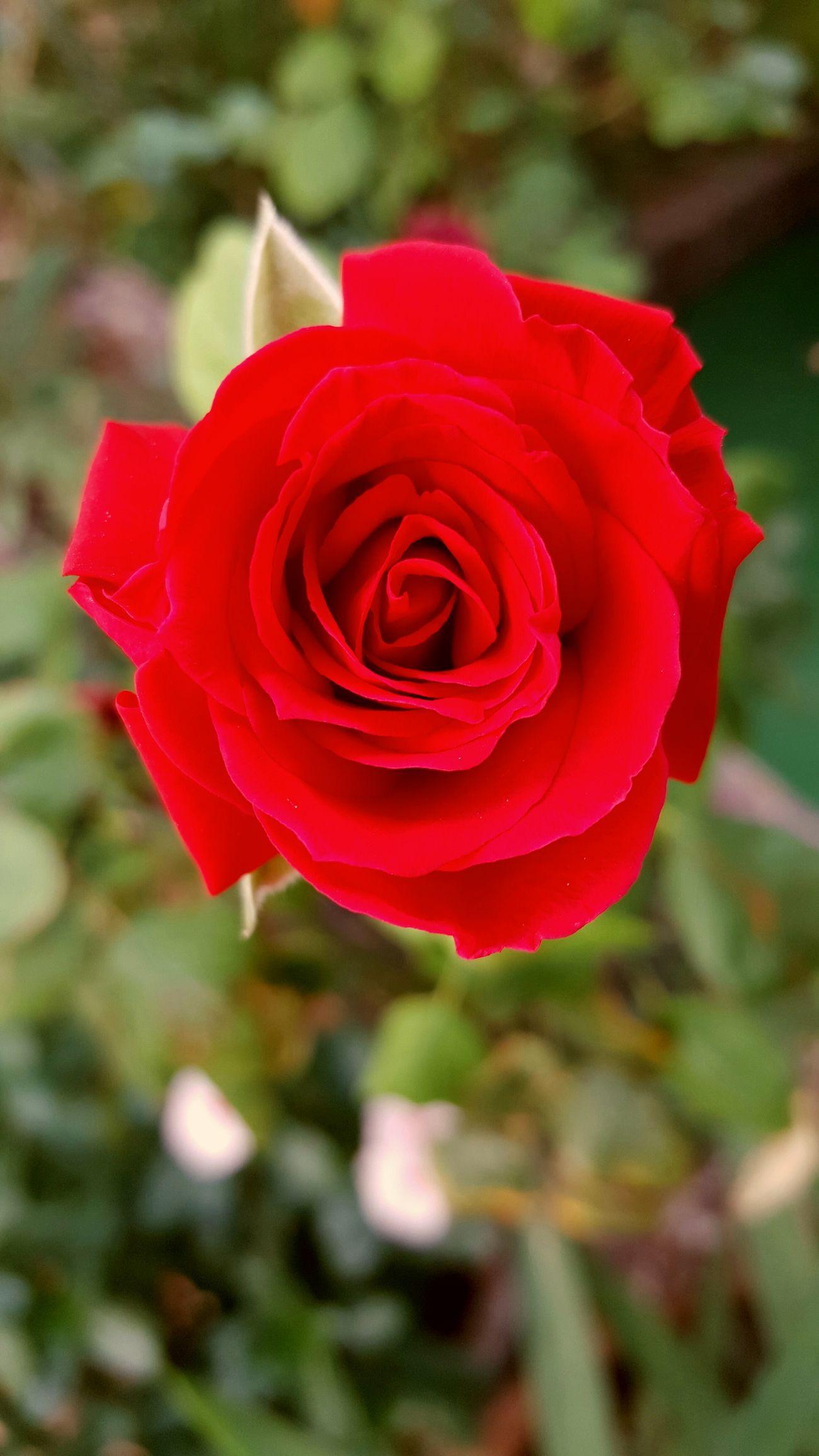 Roses Roses🌹 Akdeniz