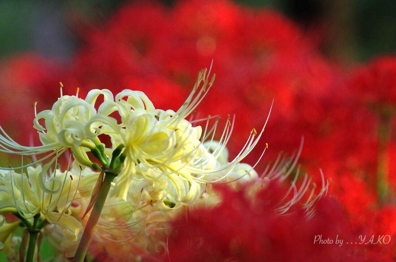 ようやく君を 見つけ〜た (๑ ॣ•͈ٮ•͈ ॣ)♡アリガトゥ♡ 郷土の森 Autumn Colors 曼珠沙華 彼岸花