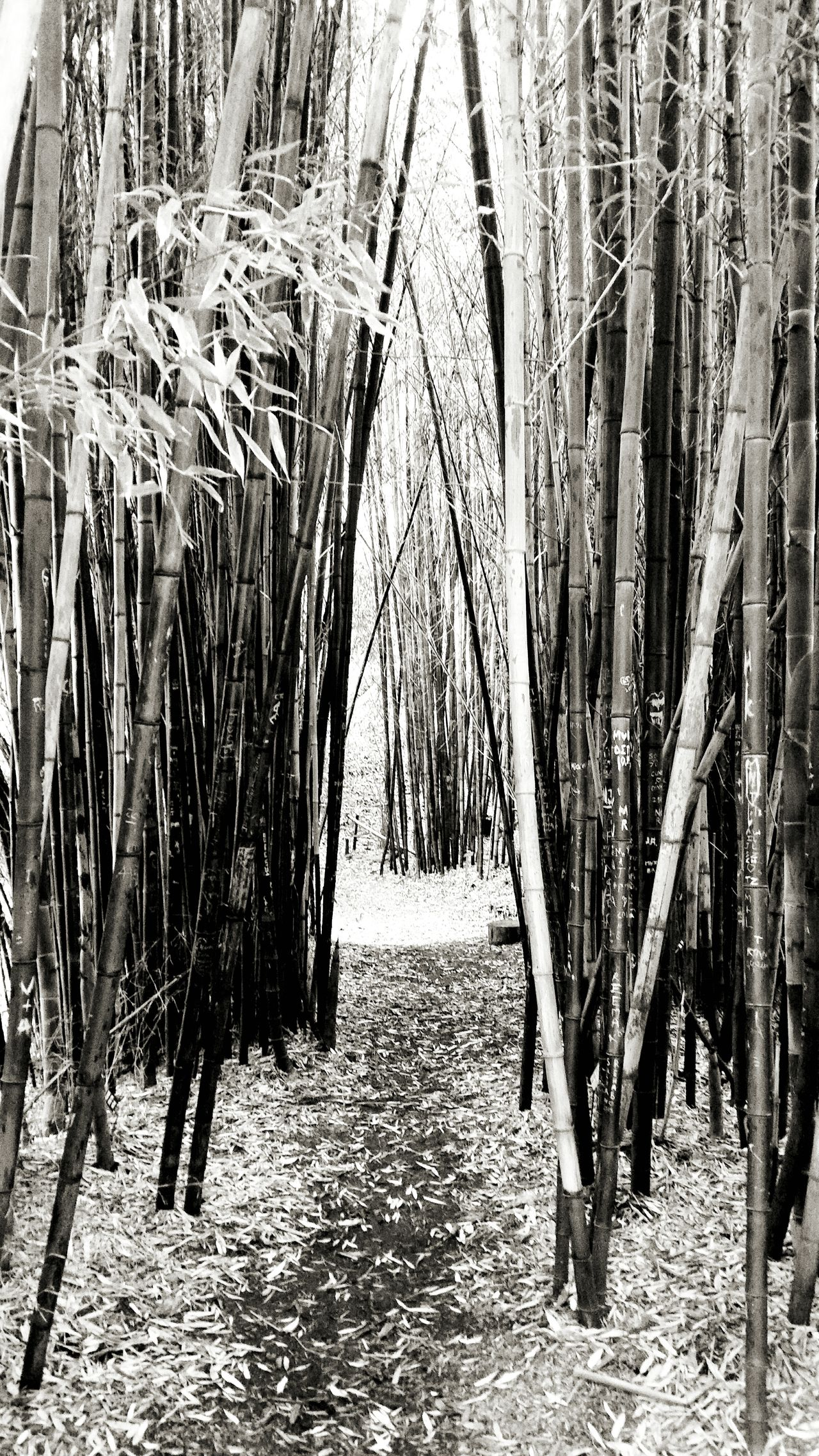 """Looking at pathway between bamboo in a """"forest"""" in the San Francisco Botanical Gardens. Where does it lead to? Similarly in life pathways open up. Shall we explore them or stay on course? Sanfrancisco Bamboo Botanical Gardens Chosen Paths Nature Photography"""