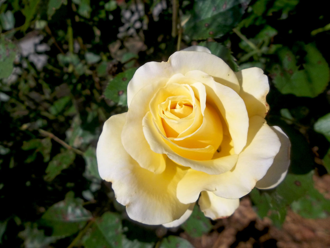 Yellow Flower Yellow Rose Yellow Roses Roses Roses_collection Nature Beauty In Nature Beauty Of Nature Yellow Flowers,Plants & Garden Flowers_collection Rose - Flower