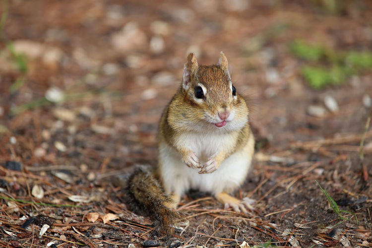 """""""That was a yucky peanut"""" said the chipmunk Tongue Sticking Out Animal Themes Animals In The Wild Bad Taste In Mou Chipmunks  Close-up Day Mammal Nature No People One Animal Outdoors Rodent Squirrel Yucky Peanut"""