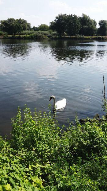 Swanlake Swans Labud White Swan Swan Lake Swanriver Swan River River Swans ❤ Swan