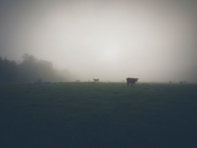 Cows Cows Grazing Nature Fog Landscape Tranquil Scene Animal Animal Themes Pasture Morning Farm Field Foggy Scenics Scenic Sunrise Nature Photography Landscape_photography