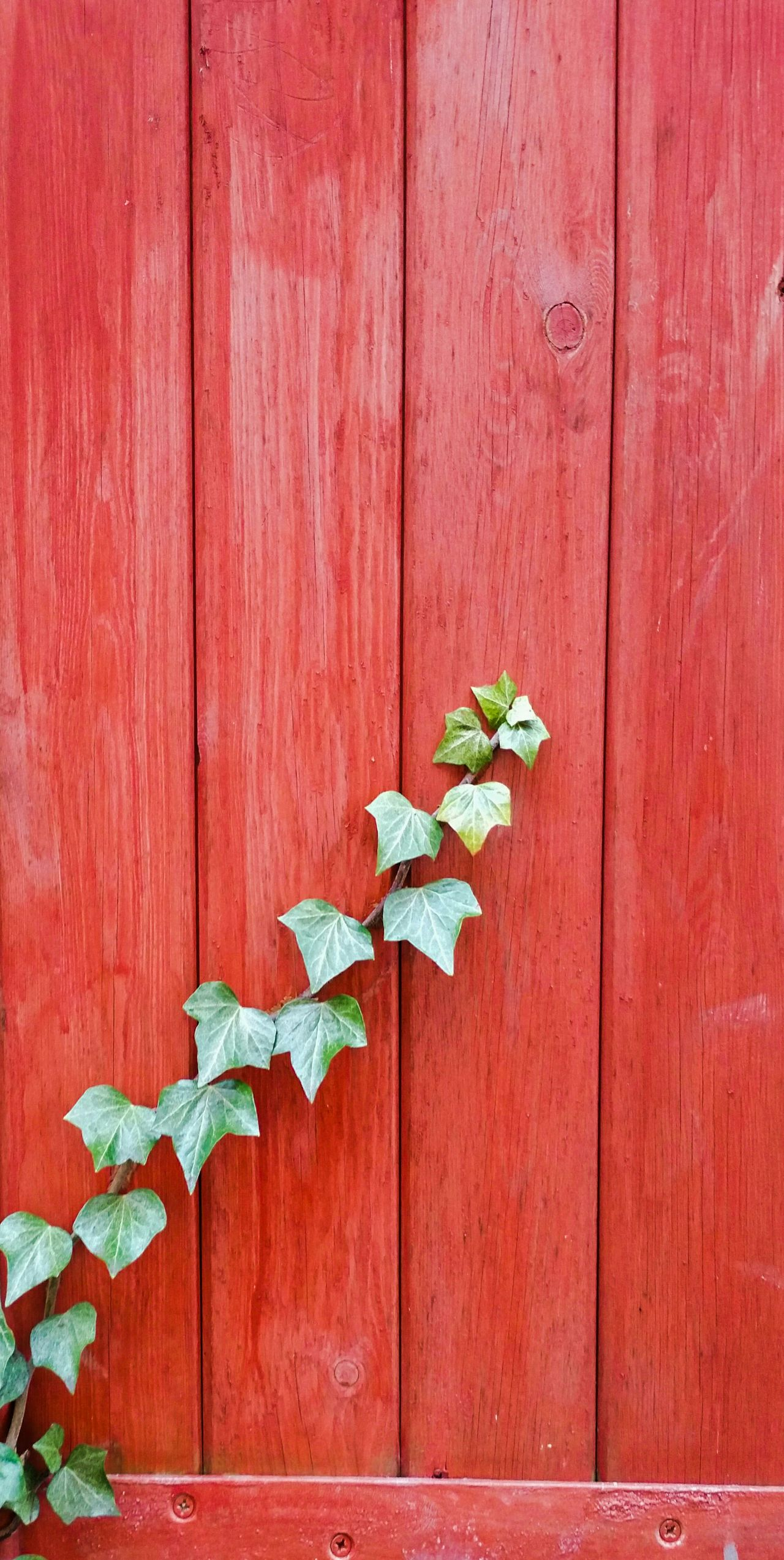 Wood - Material No People Red Outdoors Close-up Day Nature Architecture Ivy Leaves Plant Fence Gate Climbing Growing Britain Backgrounds Desktop Planks Paint Green