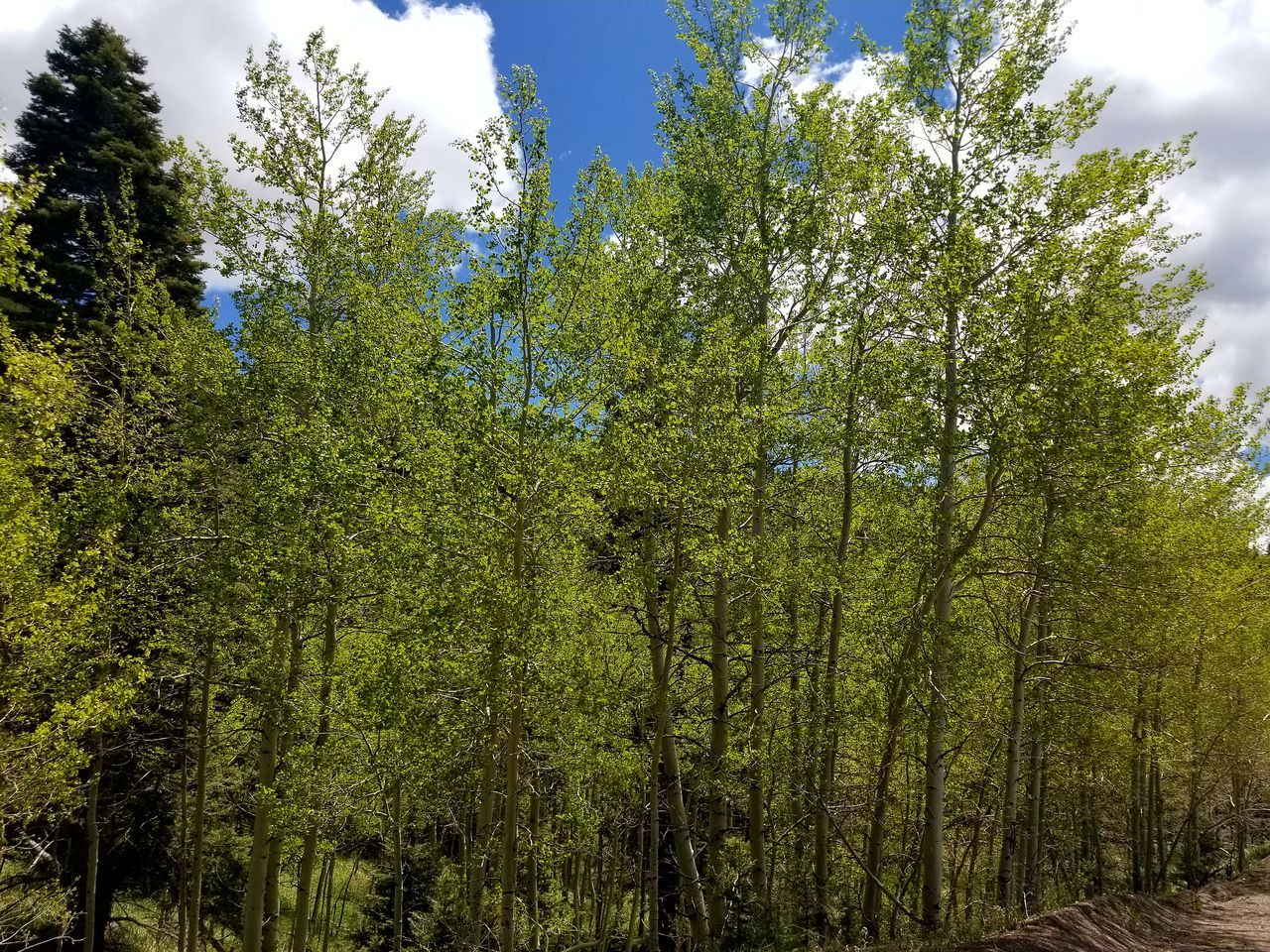 tree, nature, growth, forest, green color, beauty in nature, no people, outdoors, day, tranquility, sky, scenics