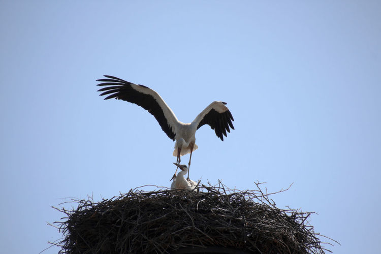 Procreation of storks - Fortpflanzung der Störche Animal Animal Nest Animal Wildlife Animals In The Wild Bird Bird Nest Bird Photography Birds Birds Of EyeEm  Birds_collection Birds🐦⛅ Blue Ciconia Ciconia Ciconiidae Clear Sky Day EyeEm Birds Nature No People Outdoors Sky Stork Stork Couple Storks White Stork