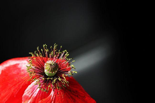 Poppy Poppy Flower Red Canon Canonphotography Macro Beauty Macro Macro Nature Showcase : Juli Nature