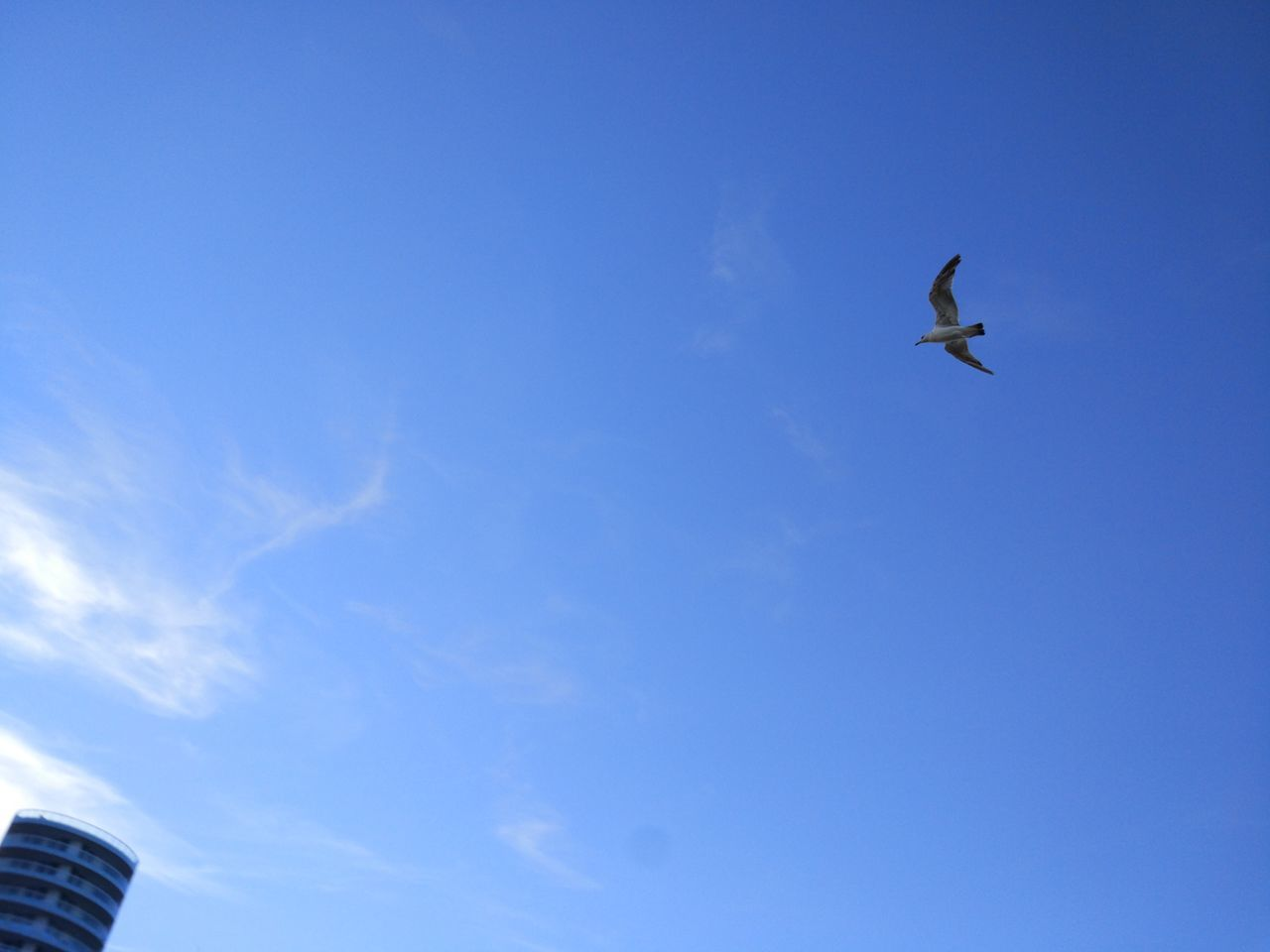flying, low angle view, blue, mid-air, bird, day, sky, outdoors, clear sky, no people, nature, spread wings, animal themes