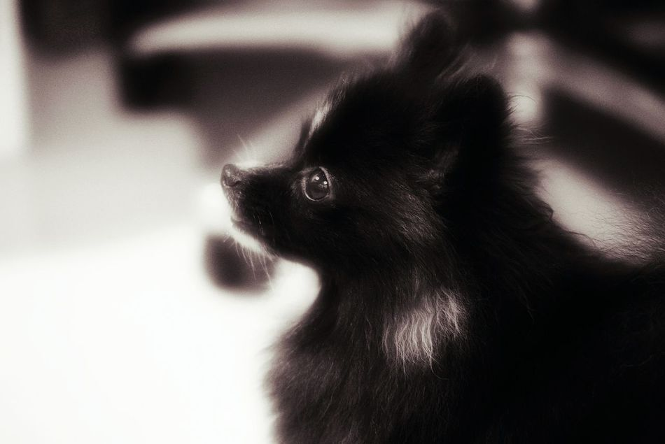 Pomeranian Puppy Domestic Dog Cute Dog  Innocent Face Innocent Eyes Little Dog