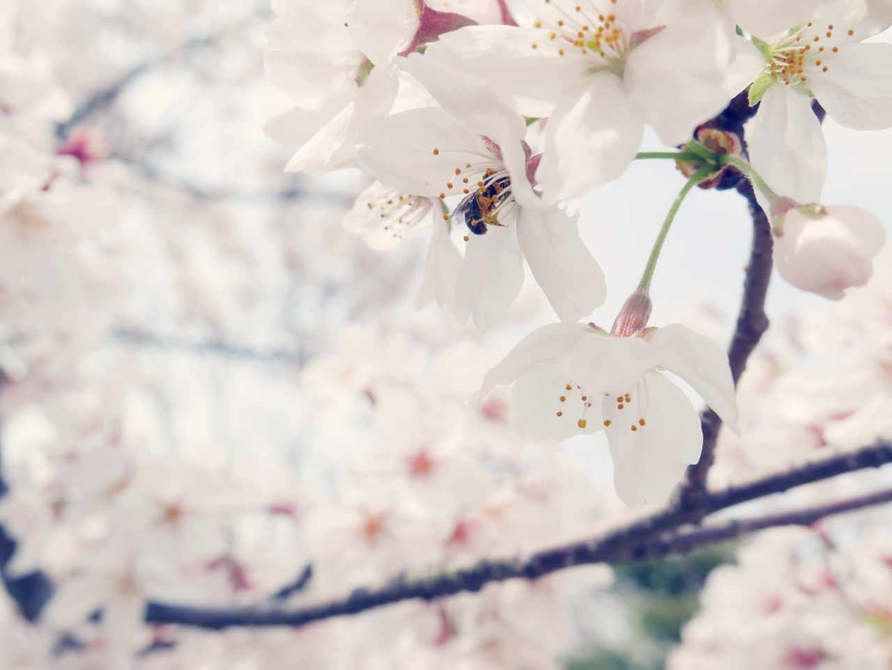 flower, fragility, white color, springtime, beauty in nature, petal, blossom, freshness, nature, growth, botany, branch, flower head, apple blossom, tree, orchard, selective focus, pollen, no people, close-up, twig, stamen, day, plum blossom, outdoors, blooming