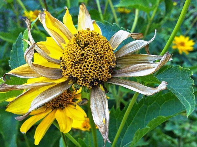 Planten Un Blomen Yellow Flower Flower Flower Head Flower Photography Flowerpower Flowers, Nature And Beauty EyeEm Best Shots - Nature Nature Jopesfotos - Nature