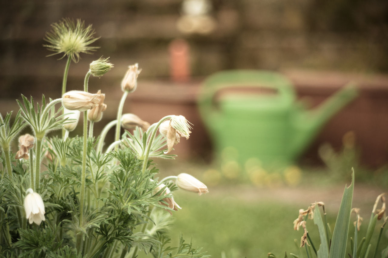 Beauty In Nature Close-up Day Flower Flower Head Freshness Garden Grass Green Color Growth Nature No People Outdoors Plant Watering Can