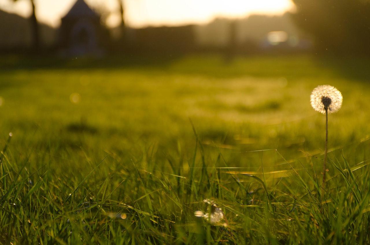 Dandelion Sunlight Beauty In Nature France Dandelion Green Color Nature Grass Fall Beautiful