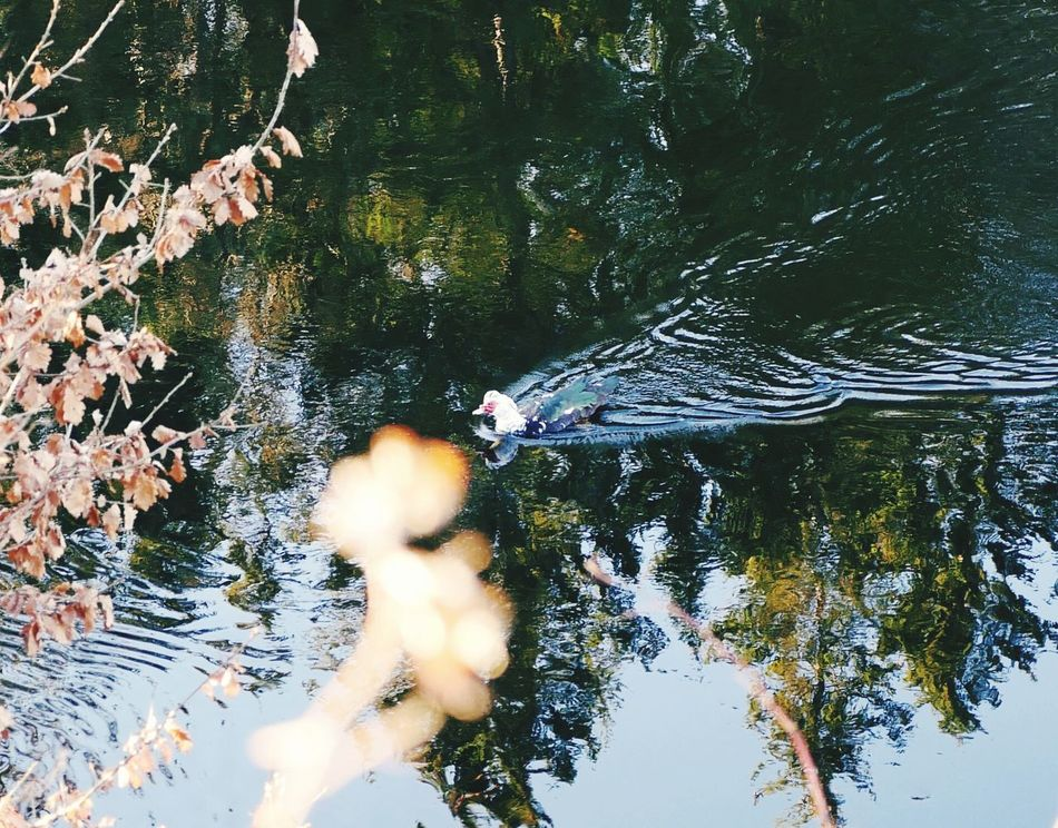 Water Swimming Animal Themes Reflection Nature Animals In The Wild Outdoors Day Tree Bird Forest Lake Scenics Tranquility Beauty In Nature One Animal Tranquil Scene No People
