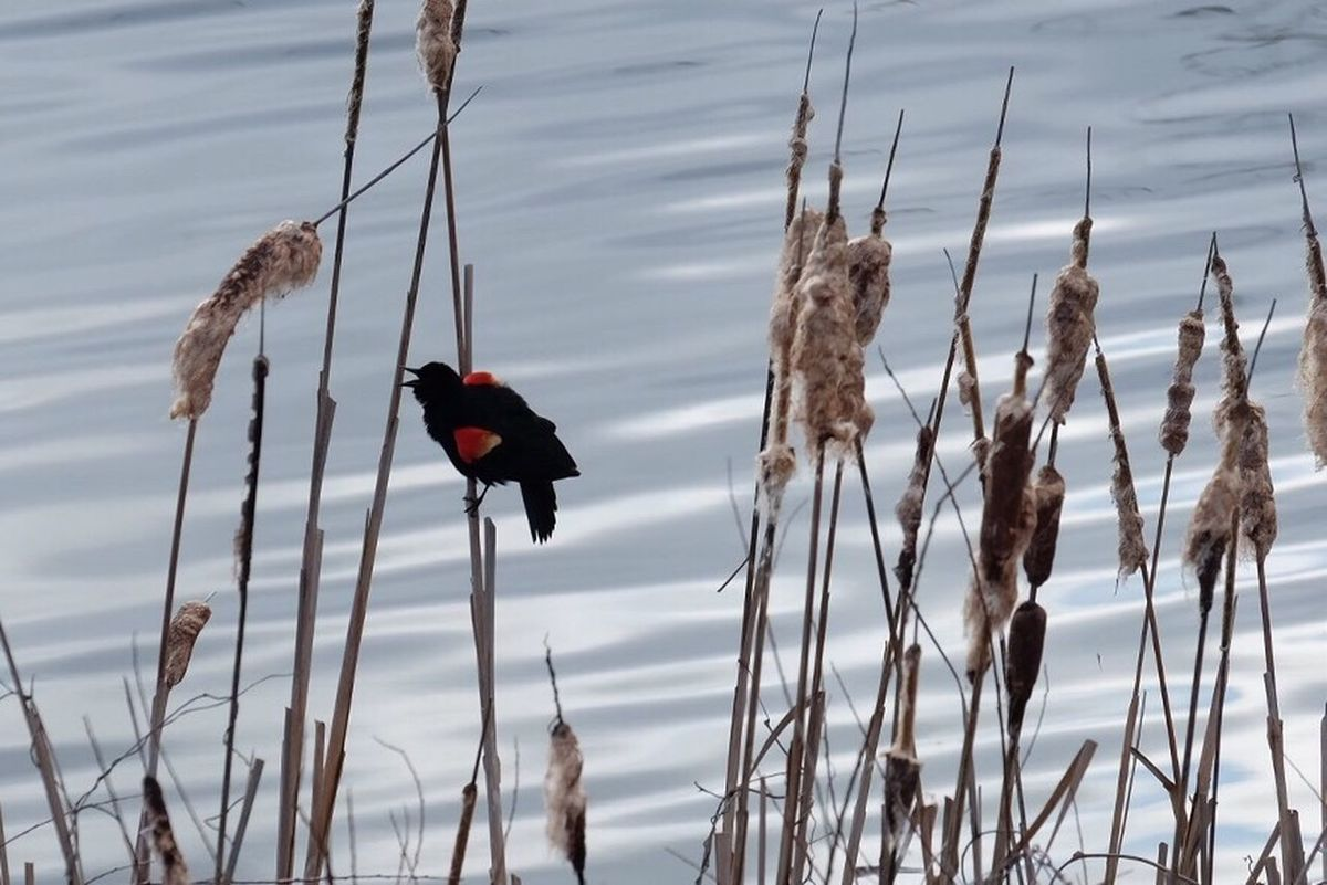 Redwing Blackbird Redwingedblackbird Redwing Blackbird Day Nature No People Bird Outdoors Animal Themes Beauty In Nature Perching