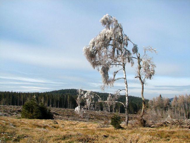 One frosted tree. Frost Frosted Frosted Trees Monts Du Pilat Nature No Edit/no Filter No People Non Urban Scene Tranquility Tree