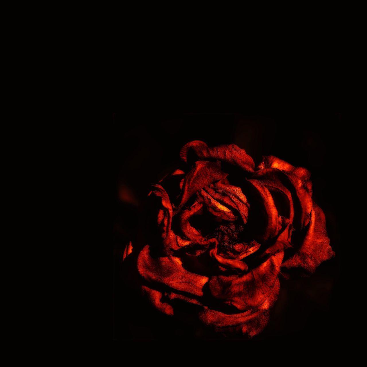 Withered Rose Red Fragility Wabisabi Fineart Flower Petal Nature Graphic EyeEm Black Background Close-up Wabi-sabi Fine Art EyeEm Best Shots - Nature EyeEm Nature Lover Fine Art Photography Beauty In Nature Flower Head
