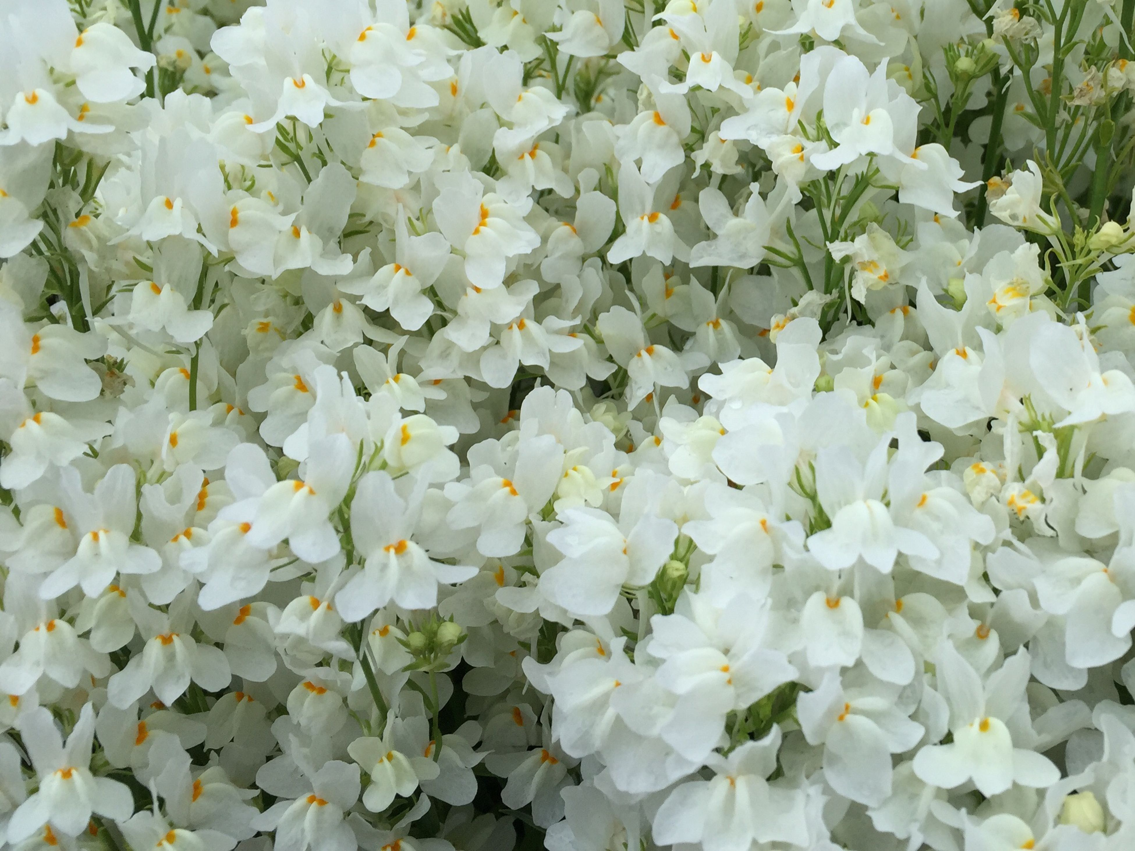 flower, white color, freshness, growth, fragility, petal, beauty in nature, nature, full frame, flower head, high angle view, blooming, plant, backgrounds, white, blossom, in bloom, abundance, outdoors, day