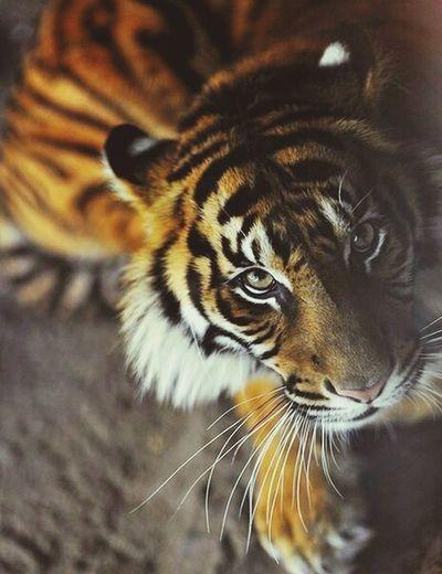 Animal Tiger Roar Hear Me Roarrrrr!