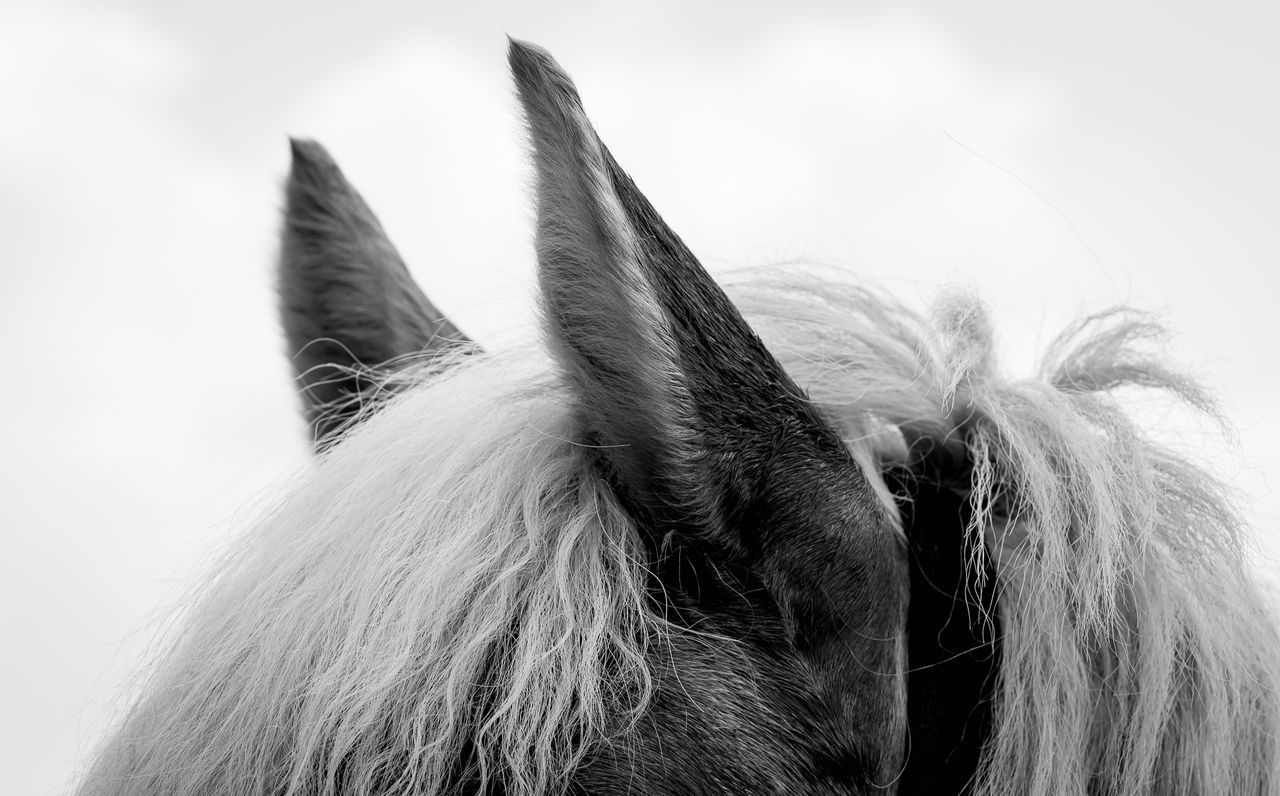 Ears Animal Body Part Animal Themes Close-up Domestic Animals Equestrian Equinephotography Horse No People One Animal